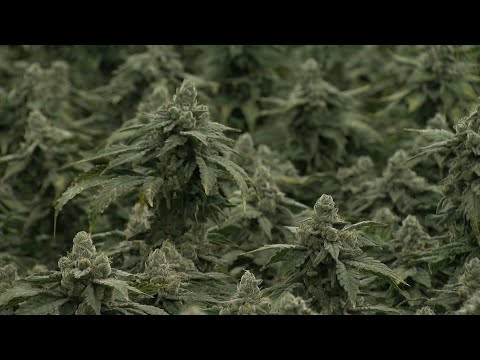San Diego Cannabis Growers Grappling With A Changing Marijuana Market