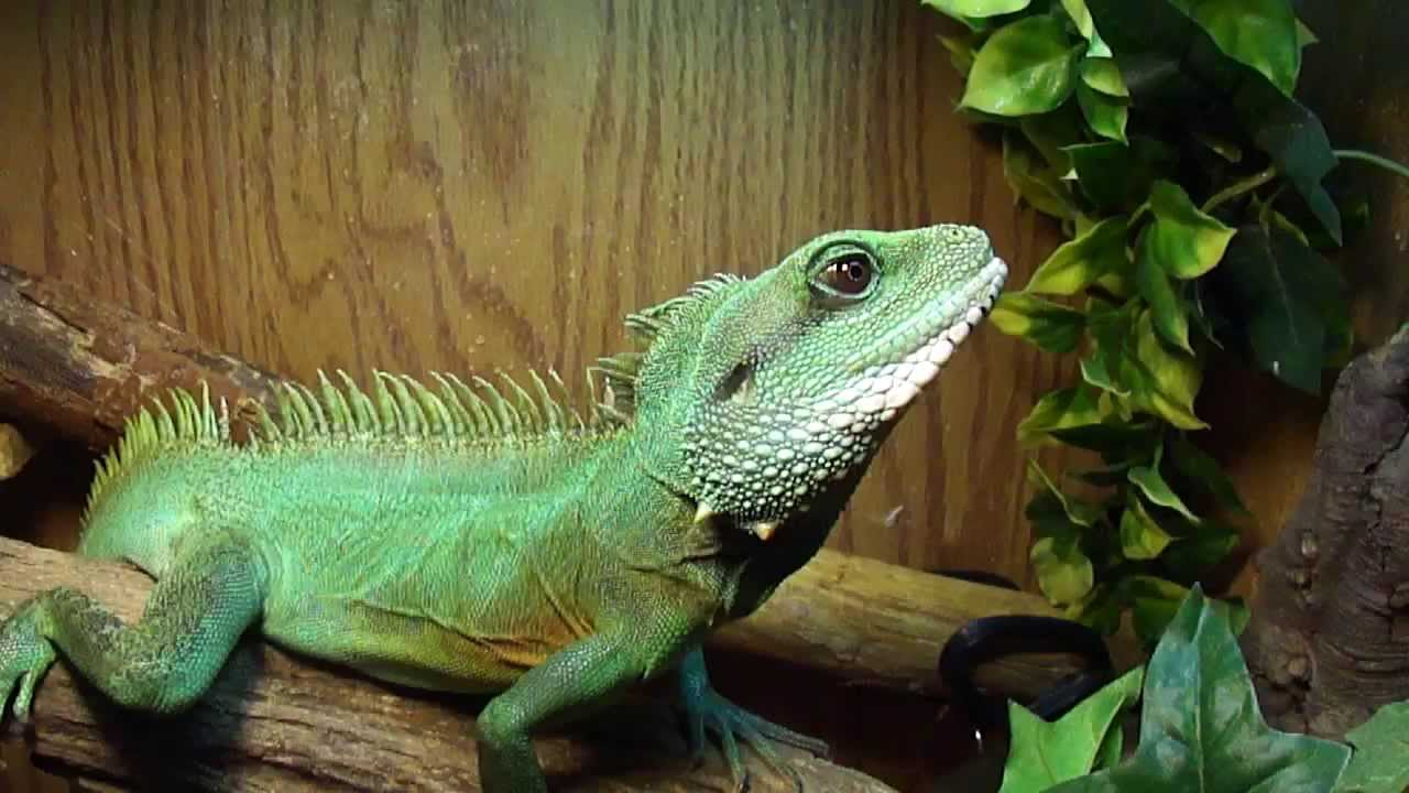 Chinese Water Dragon - YouTube