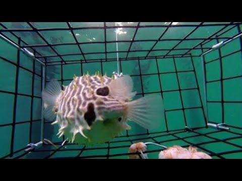 Pesca de Pez Globo en Fondo del Mar Captada con Go Pro con Trampa Especial