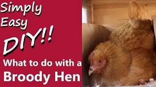 DIY Chickens: What to do with a Broody Hen?