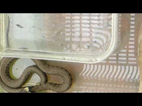 Grass Snake  - Natrix Natrix - Grassnákur - Snákar - Slöngur - Skriðdýr - Gæludýr