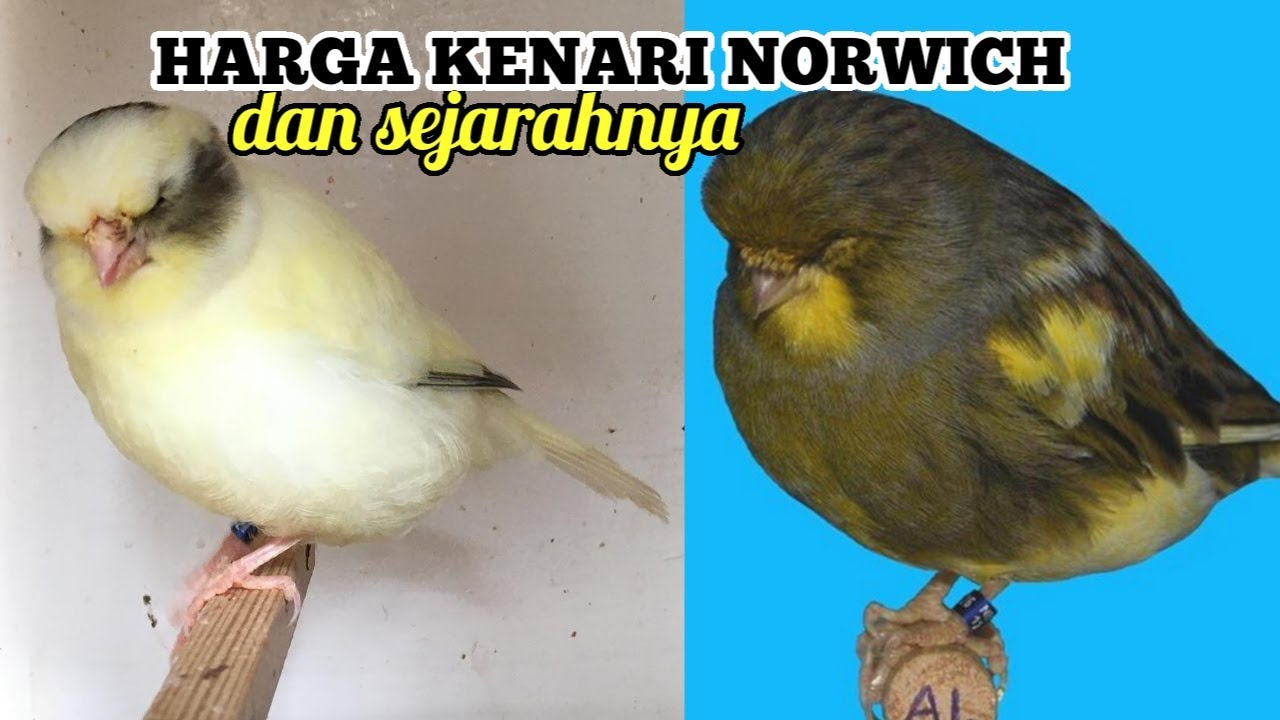 Harga Burung Kenari Norwich Ring Terbaru 2021