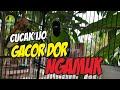 Cucak Ijo Gacor Dor Full Isian Trek Harian Ngamuk  Mp3 - Mp4 Download