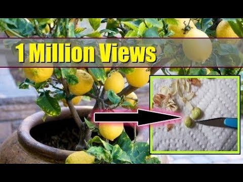 How to Grow Lemon Tree from Seed Indoors ► FAST GERMINATION ►