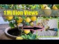 How To Grow Lemon Tree From Seed Indoors ► Fast Germination ► video