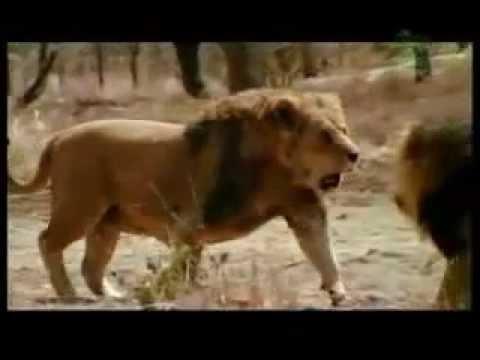 2 Leoni Combattono