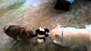 Pomeranian Puppy Playing Tug Of War With American Eskimo