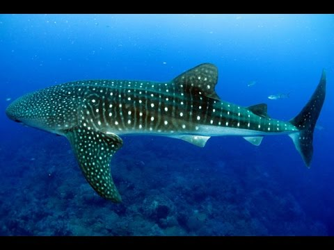 whale shark research in the Red Sea