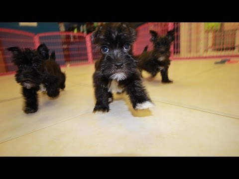 BLACK MINI SCHNAUZER PUPPIES FOR SALE GEORGIA LOCAL BREEDERS