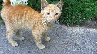Ginger kitten wants food