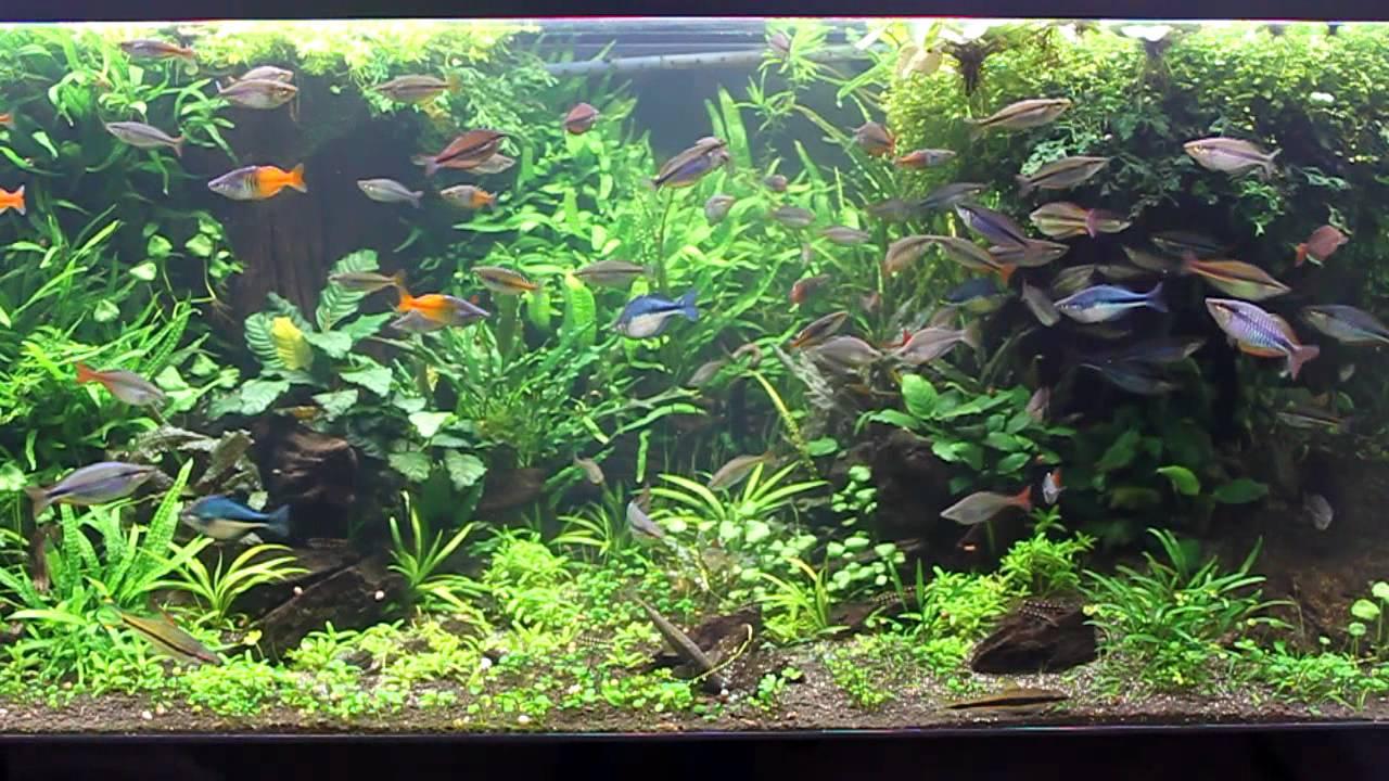 Rainbowfish Planted Aquarium April 12 - YouTube