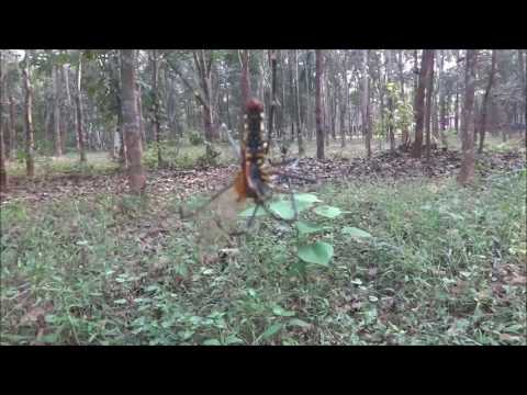 Giant Wood spider eating Dragonfly