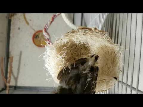 Tag 17: Harzer Roller Henne Mirja und ihr Küken