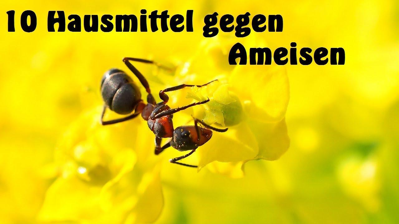 Fabelhaft ᑕ❶ᑐ Ameisen bekämpfen - So wirst du sie 100% los! &YX_87
