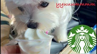 My Dog Maltese Ordering At Starbucks Drive Thru   XOXO Lucy The Maltese