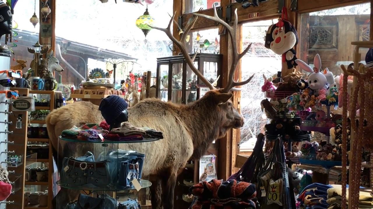 Remarkably Chill Bull Elk Hangs Out In Estes Park Gift Shop Denverite The Denver Site