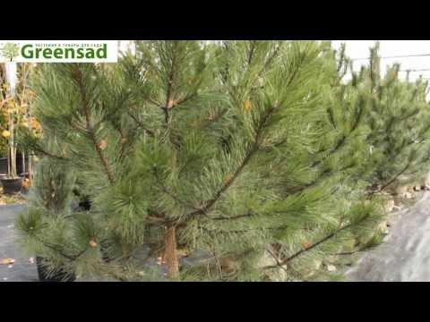 Сосна крымская - видео-обзор от Greensad