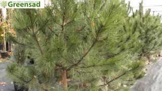 Сосна крымская - видео-обзор от Greensad(Вечнозеленая крымская сосна живет 500-600 лет. В молодом возрасте имеет пирамидальную крону, зонтиковидную..., 2013-11-12T18:41:58.000Z)