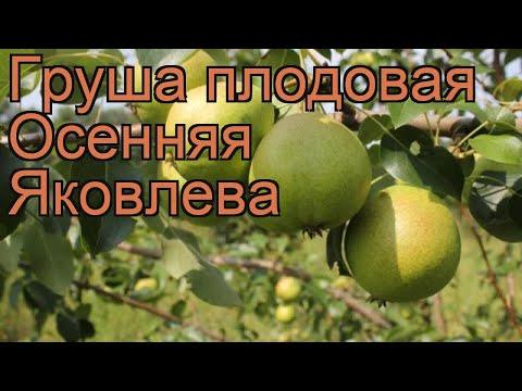 Груша плодовая Осенняя Яковлева 🌿 обзор: как сажать, саженцы, крупномеры груши Осенняя Яковлева