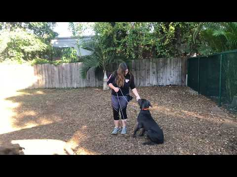 Luppa | Cane Corso | Week 1 Obedience