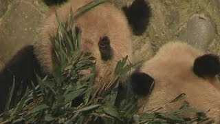 Panda poo grows 'worlds most expensive tea' in China