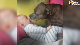 Affectionate Pit Bulls Love Their Human Family