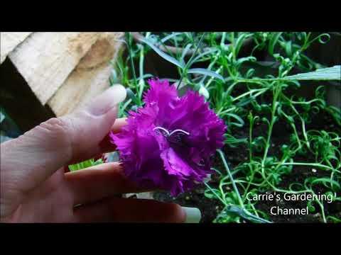 carnation seedlings bloomed indoors, will carnation plants bloom indoors