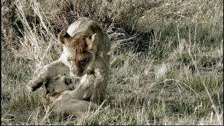 '쟤네, 아기 아니예요~' 세달박이 아기 사자 때문에 혼나는 형들의 외침! [아프리카 사파리 플러스⁺] 73