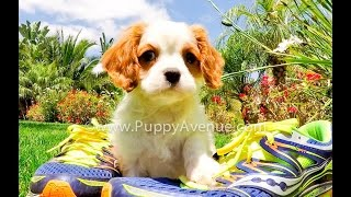 Jenner The Gorgeous Male Cavalier King Charles Spaniel Red And White Coat Available Near San Diego