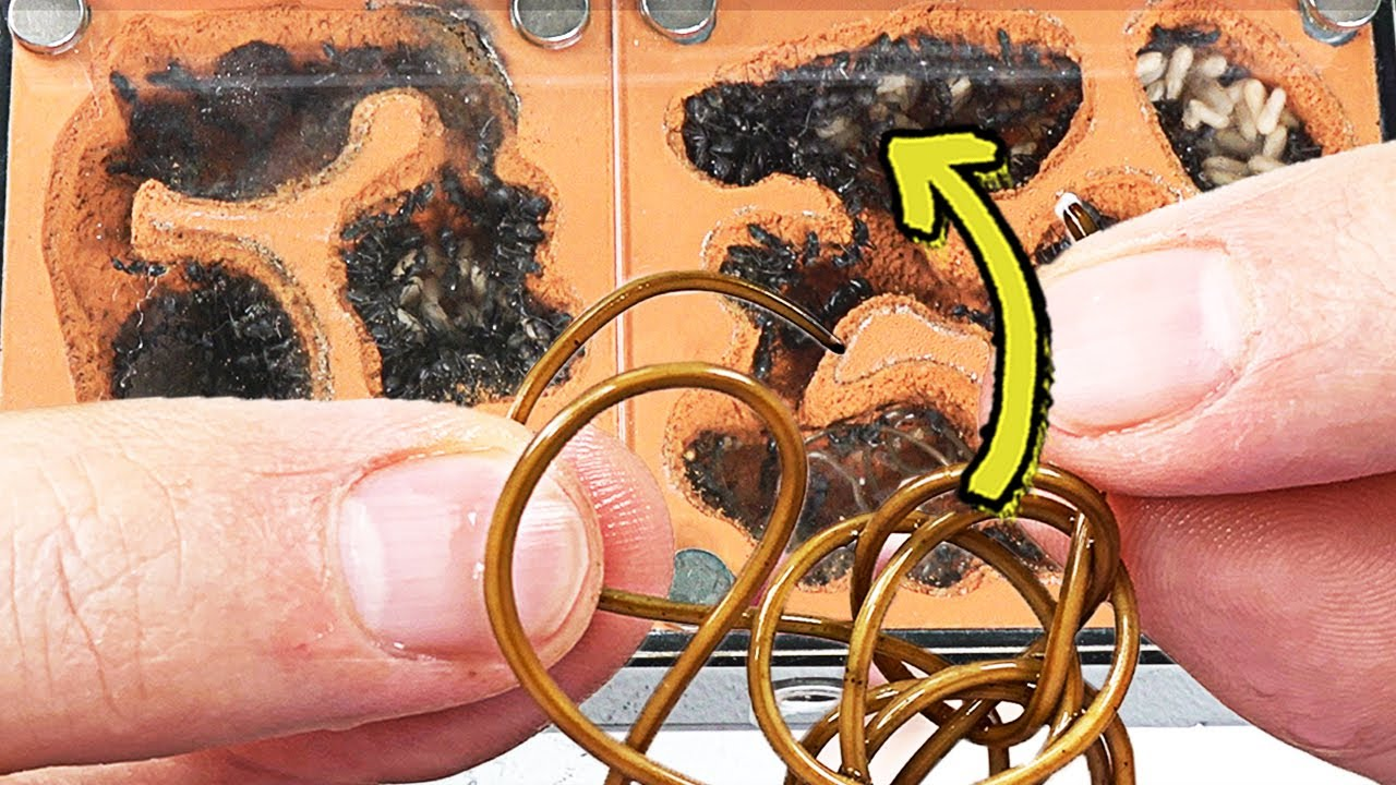 개미굴에 '연가시'를 넣는다면??