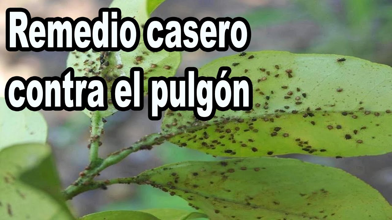 Remedio Casero Contra El Pulgón Y Otras Plagas Youtube