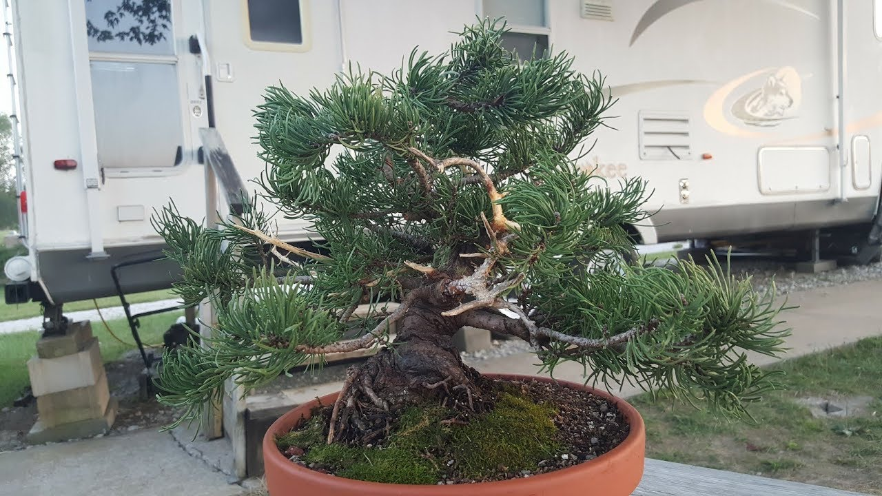 Mugo Pine Bonsai Tree Pt 2 Styling Potting