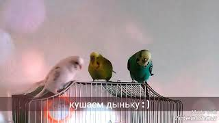 Попугаи кушают дыню