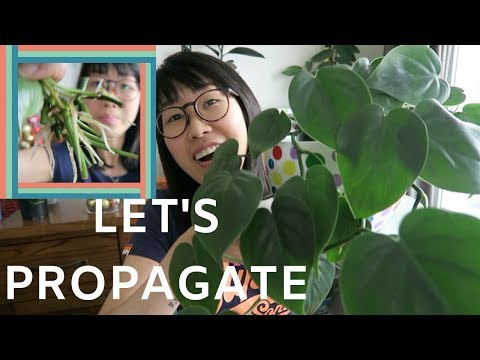 Propagating Philodendron (Heartleaf) Nov 2018