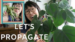 Propagating Philodendron (Heartleaf) Nov 2018