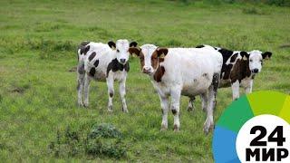 Сельскохозяйственный прорыв: Казахстан увеличит поголовье скота - МИР 24