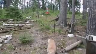 Орлы мух не ловят! Мыши для этого кота - пройденный этап.