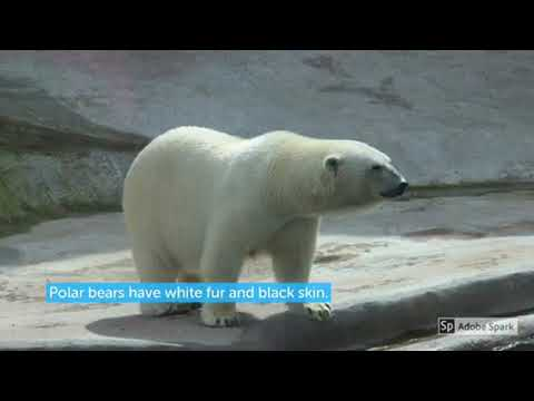 Polar Bears in the Arctic