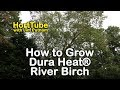 How to grow Dura Heat® River Birch - Heat and Drought Tolerant River Birch