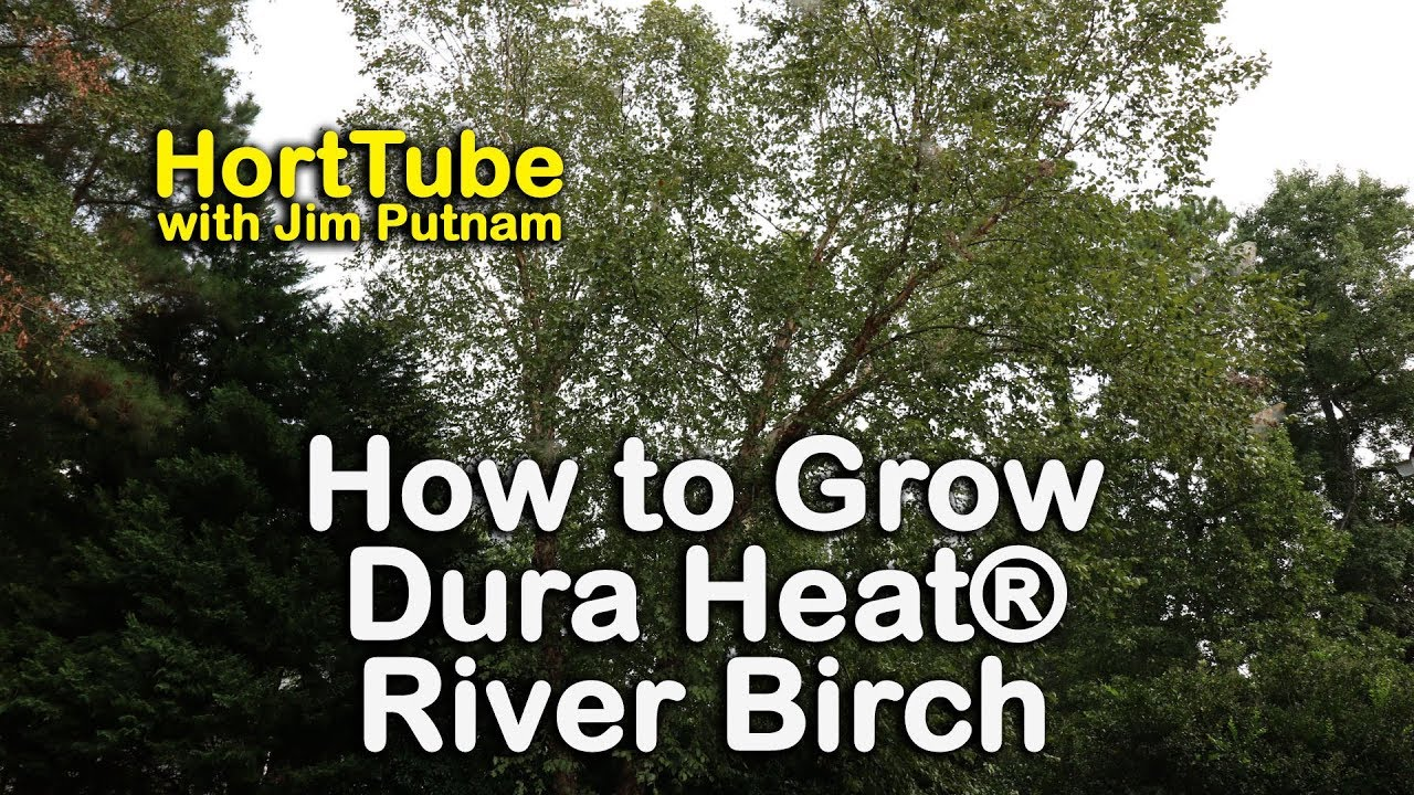 How To Grow Dura Heat River Birch And Drought Tolerant