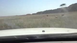 Охота с тазы на зайца русака