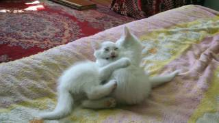 Белые котята играют)