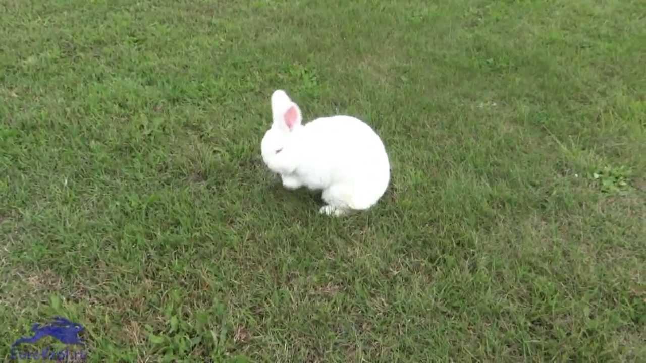 Кролик новозеландский белый Словакия - YouTube