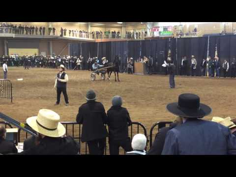 Mid-Atlantic Morgan Horse Sale 2017 top seller WVS Extreme Demander