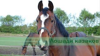Лошади казаков
