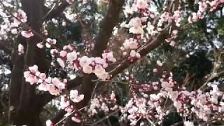 【4k】杏(あんず)が見ごろです。 2019.3.18 名古屋 徳川園