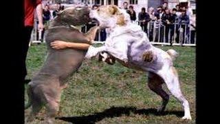 Питбуль против 2-ух Ротвейлеров