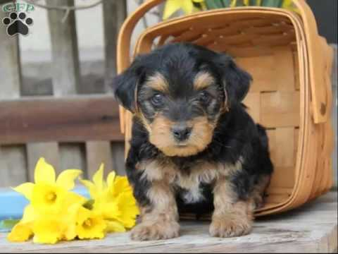 Yorkie Poo Puppies Collection Of Pictures And Breed Idea Youtube