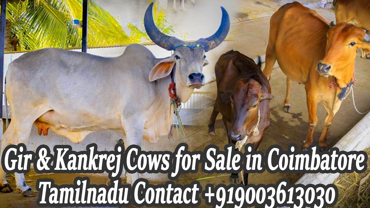 Cow for Sale|Gir & Kankrej Cows Sale in Coimbatore Tamilnadu Contact  +919003613030