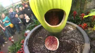 Inside Putrella the Corpse Flower